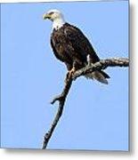 Bald Eagle 6 Metal Print