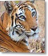 Bandhavgarh Tigeress Metal Print