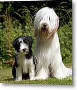 Bearded Collie And Puppy Metal Print