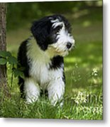 Bearded Collie Puppy Metal Print