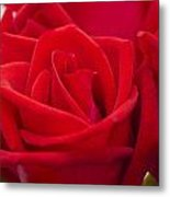 Beautiful Red Rose Close Up Shoot Metal Print