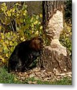 Beaver   Castor Canadensis Metal Print