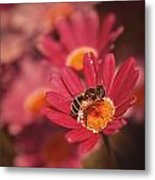 Bee On A Pink Daisy Metal Print