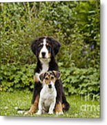 Bernese Mountain & Jack Russell Puppies Metal Print
