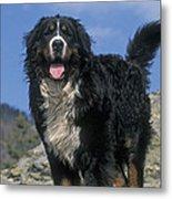 Bernese Mountain Dog Metal Print