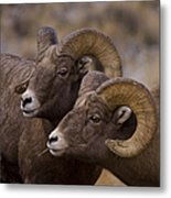 Big Horn Rams   #4664 Metal Print