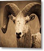 Big Horned Ram Metal Print