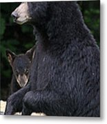 Black Bear With Cub Metal Print