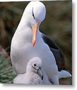 Black-browed Albatross With Chick Metal Print