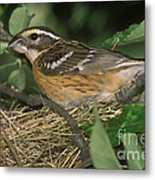 Black-headed Grosbeak Female Metal Print
