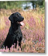 Black Labrador Dog Metal Print