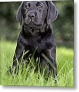 Black Labrador Puppy Metal Print
