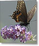 Black Swallowtail Butterfly Feeding Metal Print