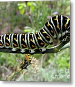 Black Swallowtail Caterpillar Metal Print