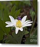 Bloodroot Wildflower - Sanguinaria Canadensis Metal Print
