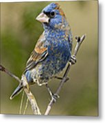Blue Grosbeak Metal Print