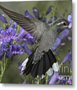 Blue-throated Hummingbird Metal Print