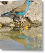 Blue Waxbill Reflection Metal Print