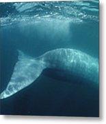 Blue Whale  Sea Of Cortez Mexico Metal Print