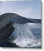 Blue Whale Tail Sea Of Cortez Mexico Metal Print