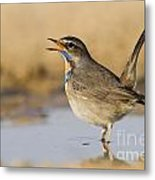 Bluethroat Luscinia Svecica Metal Print
