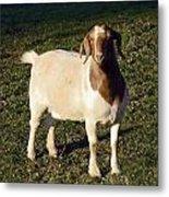 Boer Goat  Metal Print