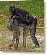 Bonobos Metal Print