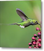 Booted Racket-tail Metal Print