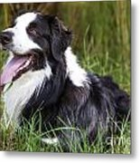Border Collie In The Nature Metal Print