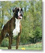 Boxer Dog Metal Print by Johan De Meester
