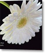 Bright White Gerber Daisy # 2 Metal Print