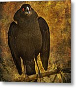Bronzed Cowbird Metal Print