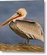 Brown Pelican Portrait California Metal Print