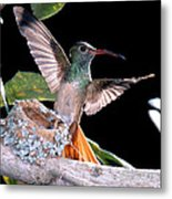 Buff-bellied Hummingbird At Nest Metal Print