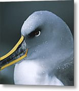 Bullers Albatross With Colorful Bill Metal Print
