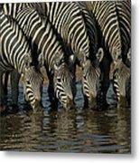 Burchells Zebra Equus Burchellii Herd Metal Print