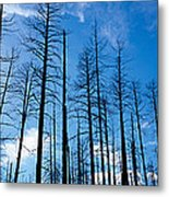 Burnt Pine Trees In A Forest, Grand Metal Print