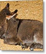 Burro Foal Metal Print