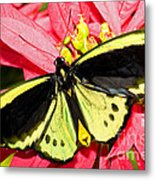 Cairns Birdwing Butterfly Metal Print