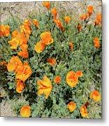 Californian Poppy Eschscholzia Metal Print