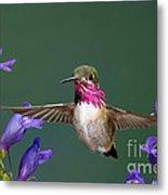 Calliope Hummingbird Stellula Calliope Metal Print