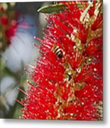 Callistemon Citrinus - Crimson Bottlebrush Metal Print