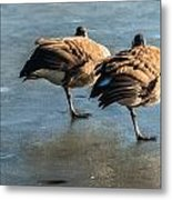 Canada Geese At Rest Metal Print