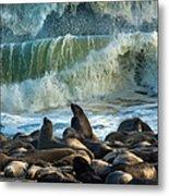 Cape Fur Seals Arctocephalus Pusillus Metal Print
