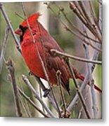 Cardinal 122 Metal Print