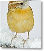 Carolina Wren In Winter Metal Print