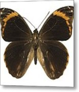 Catoblepia Xanthus Butterfly Metal Print