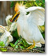 Cattle Egret With Young In Nest Metal Print