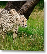 Cheetah Acinonyx Jubatus Big Cat  Metal Print