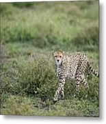 Cheetah  Acinonyx Jubatus Metal Print